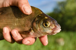 Bream in the hands Stock Photo
