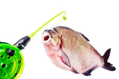 Bream on the hook. Is isolated on a white background Royalty Free Stock Image