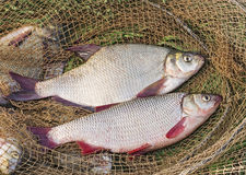 Bream and ide. Fishing trophies bream and ide stock images