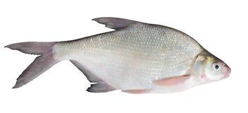 Bream isolated Royalty Free Stock Photos