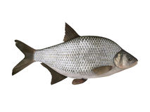 Bream. Isolated on the white. Background stock illustration