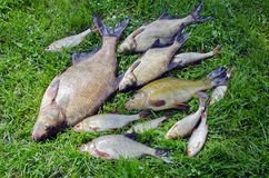 Bream roach tench fishes caught lake after fishing Stock Image