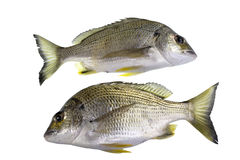 Bream Yellowfin Fish. The yellowfin bream, Acanthopagrus australis, is a marine and estuarine fish with yellowish pelvic and anal fins, mostly with a silver body Stock Photography