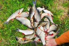 Breames dos nases das varas e crucian comuns A pesca bem sucedida é uma captura rica fotografia de stock royalty free
