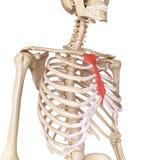 The breast bone Stock Photo