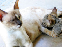 Breast Feeding. Mother cat breast feeding Stock Images