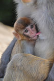 Breast-feeding baby monkey Royalty Free Stock Photography