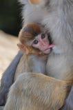 Breast-feeding baby monkey. Baby monkey drinking milk form its mother Royalty Free Stock Photography