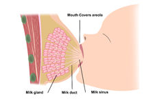 Breast feeding. Mouth covers areola breast feeding illustration Stock Image