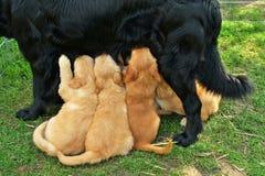 Breast-feeding small beauty puppy Stock Image