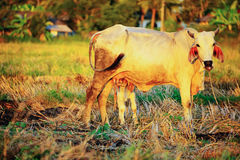 Breast milk of cows Royalty Free Stock Photography