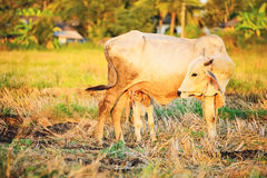 Breast milk of cows Royalty Free Stock Images