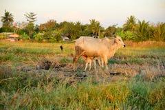 Breast milk of cows Stock Photo