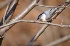 breasted五子雀栖息结构树白色 库存照片