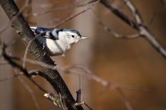 breasted五子雀栖息结构树白色 库存图片