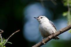 breasted五子雀被栖息的结构树白色 库存照片