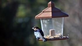 breasted提供的蜡嘴鸟上升了 免版税库存图片
