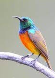 breasted橙色sunbird 库存照片