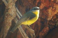 breasted知更鸟黄色 库存图片