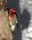 breasted红色啄木鸟啄木鸟 库存图片