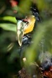 breasted红色toucan 免版税库存图片