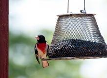 breasted蜡嘴鸟上升了 免版税库存照片