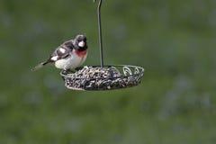 breasted蜡嘴鸟上升了 库存图片