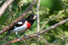 breasted蜡嘴鸟被栖息的玫瑰色结构树 免版税库存照片