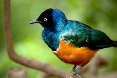 breasted金黄starling的结构树 免版税库存照片