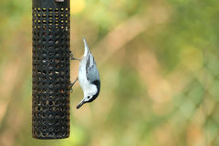 breasted белизна nuthatch Стоковое Фото