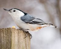 breasted белизна nuthatch Стоковые Фото