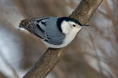 breasted белизна nuthatch Стоковое Изображение