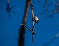 breasted белизна nuthatch Стоковая Фотография RF