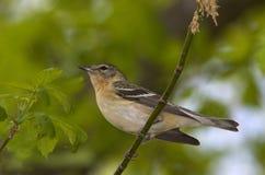 breasted заливом warbler Огайо болотоа magee Стоковые Изображения RF