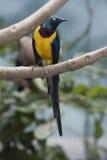 breasted золотистый starling Стоковая Фотография RF