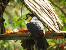 breasted красное toucan стоковые фото