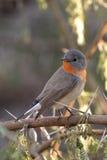breasted красный цвет flycatcher Стоковое Изображение RF