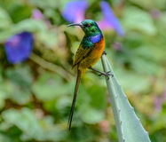 breasted померанцовое sunbird Стоковое Фото