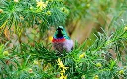 breasted померанцовое sunbird Стоковое Изображение