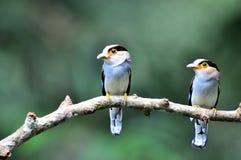 breasted серебр broadbill Стоковые Фото