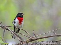 被栖息的玫瑰breasted蜡嘴鸟 免版税库存照片