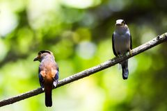 Breasted argenté Broadbill en parc au sud de la Thaïlande Photos stock