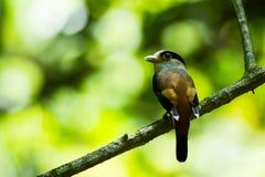Breasted argenté Broadbill en parc national au sud de la Thaïlande Photographie stock