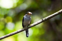 Breasted argenté Broadbill en parc national au sud de la Thaïlande Photo libre de droits