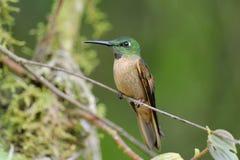 breasted brillant hummingbird пыжика стоковое изображение