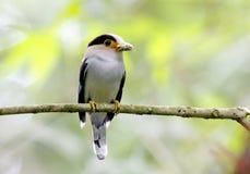 银breasted Broadbill Serilophus lunatus 免版税图库摄影