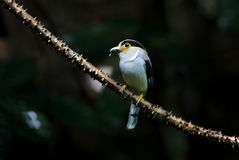 银breasted Broadbill Serilophus lunatus 免版税库存图片