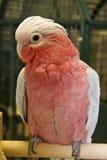 breasted cockatoo поднял Стоковая Фотография