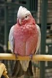 breasted cockatoo поднял Стоковое Фото