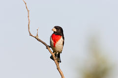 breasted grosbeak wzrastał Obrazy Stock